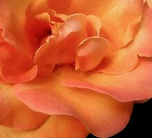 Orange Rose by Nancy Polanski