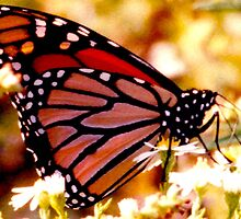 Monarch by CanvasMan