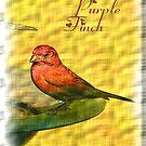 PURPLE FINCH by Dayonda