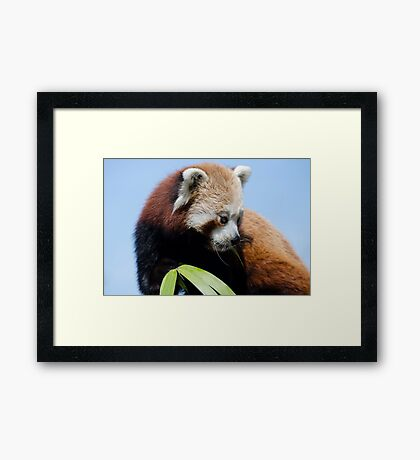 Red panda 2 Framed Print