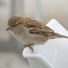 House Sparrow by Jacqueline  Murphy