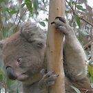 Koala by Jacqueline  Murphy