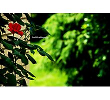 one rose, one love Photographic Print