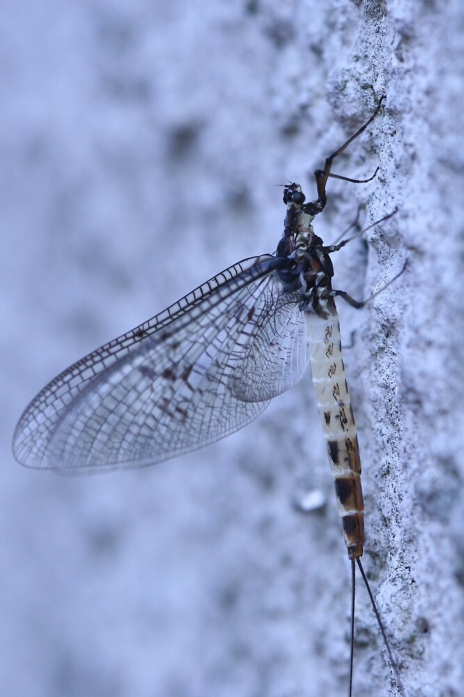 Mayfly by Fabio Passaro