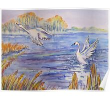 Tundra Swans, Lake Erie Poster