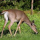 White-tailed Deer by Lisa G. Putman