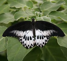 Black and White Butterfly by Fabio Passaro