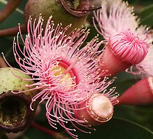 Pink Eucalypt flower bud and gumnut by picketty