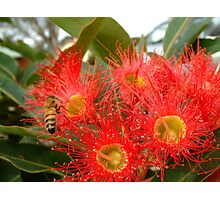 Red Flowering Gum and Visitor Photographic Print