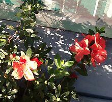 Azalea blooming in winter by Ellen Turner