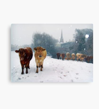 Cattle in the snow, Monmouth, Wales, UK. Metal Print