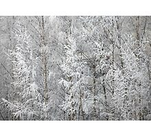trees covered with hoarfrost Photographic Print