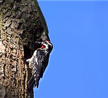 Woodpecker Bringing Home The Bugs by Molly  Kinsey