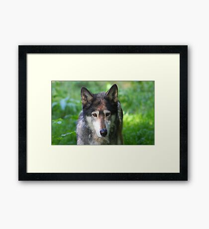 The Grey Wolf..... Framed Print
