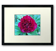 Plump Pink Peoni Framed Print