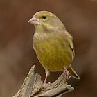 Greenfinch - I (Carduelis chloris) by Peter Wiggerman