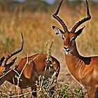 Impala by Scott Ward
