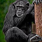 Chillin' Chimpanzee by Scott Ward