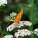 iulia butterfly by Kimberly Palmer