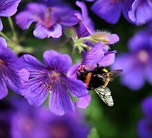 Bumblebee on Geranium by photobymdavey