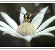Hoverfly on Flannel Flower by KimAubrey