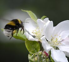 Bumble Bee Hovering over apple tree flowers by John Newson
