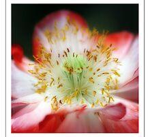 Poppy by KimAubrey
