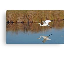 The Great White in flight Canvas Print