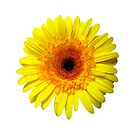 Sunny Yellow Gerbera Daisy by Susan Savad