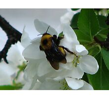 AppleBlossoms and the BummbleBee Photographic Print