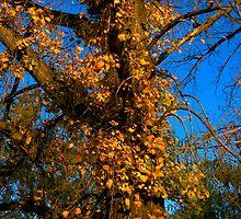 Autumn Vine by tano