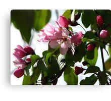 Pink AppleBlossoms Canvas Print