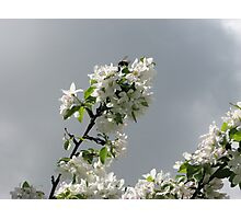 Blossoms and the BummbleBee Photographic Print