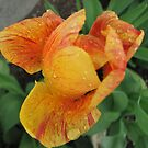 Tulip and Raindrops by gypsykatz