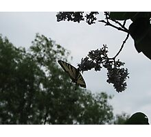 BUTTERFLY AND LILAC NECTAR Photographic Print