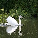 Early Morning Swan by mousesuzy