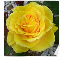 Head On View Of A Yellow Rose With Garden Background Poster