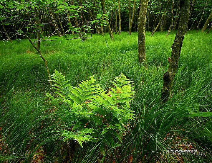 Where the Green Fern Grows by ThomasRBiggs