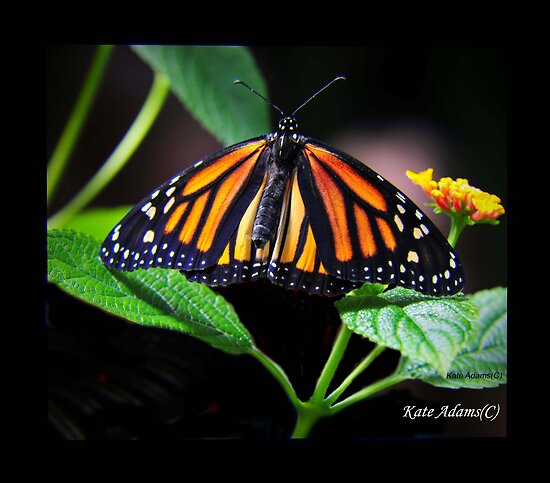 Monarch by Kate Adams