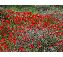 Beautiful Red Wild Anemone Flowers In A Spring Field  Photographic Print
