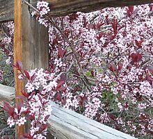 flowering fence by Lori  Wilson