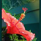 Hibiscus  by Ginny Schmidt