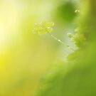 Dewed Three-Leaved Clover by the-novice