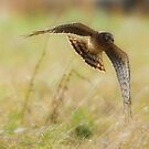 Capturing The Speed of a Northern Harrier by David Friederich