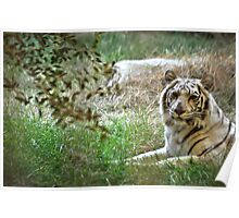 Rare White Tiger Poster