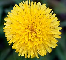 Close-up of a dandelion by turpentine
