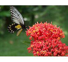 Butterfly @ Borneo Rainforest Lodge - Sabah Photographic Print