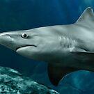 Sandbar Shark by Art-by-Aelia