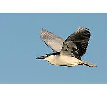 Black-crowned Night Heron In Flight Photographic Print