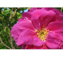 Wild Rose Photographic Print